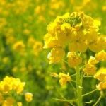 【菜の花】体の解毒!肝機能や貧血予防!薬膳で丁寧な暮らし